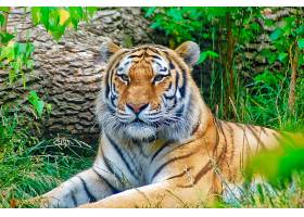 草地上休息的老虎