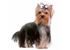 扎头发的宠物狗