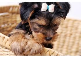 竹篮里的小狗
