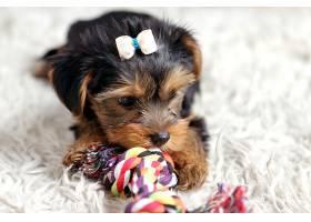 玩具与宠物狗