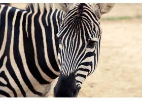 黑白条纹的斑马