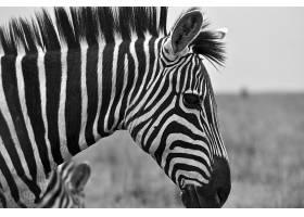 斑马黑白摄影