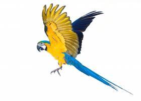 飞翔的鹦鹉