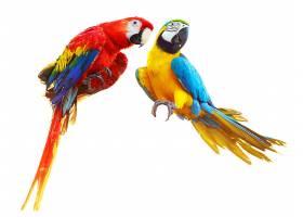 两只彩色鹦鹉