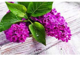 深紫色丁香花
