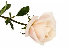 一朵粉色玫瑰花