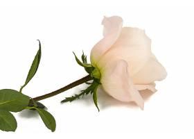 漂亮的粉色玫瑰花