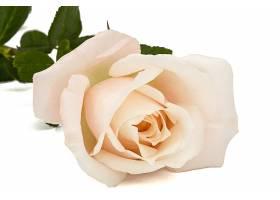 漂亮的玫瑰花