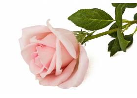 一朵粉玫瑰