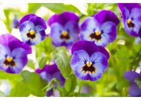深紫色角堇花