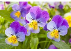 漂亮的角堇花
