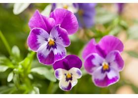 紫白色三色堇