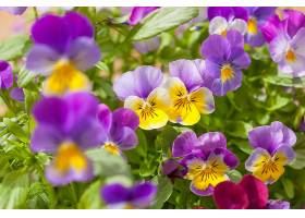 紫黄色三色堇