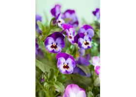 角堇花花丛