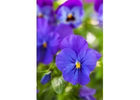 紫色角堇花