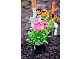 土壤与雏菊