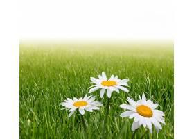 青草与白晶菊