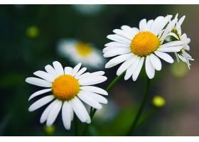 三朵白晶菊