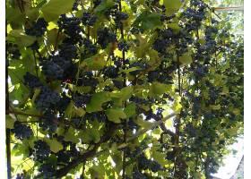 食物,葡萄,水果,壁纸(58)