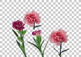 康乃馨花母亲节,花节PNG剪贴画草本植物,插花,节日元素,人造花,植