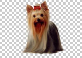 约克夏犬金毛猎犬马耳他狗波士顿梗犬小狗,长,头发的狗戴着弓PNG