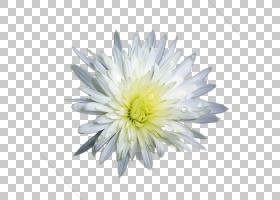 菊花德兰士瓦雏菊,白菊花PNG剪贴画白色,黑色白色,花瓶,花,雏菊家