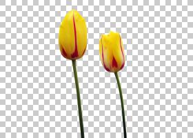 郁金香时间节黄色花,郁金香PNG剪贴画植物茎,郁金香花,百合,郁金