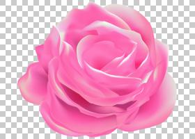 花园玫瑰白菜玫瑰粉红色Floribunda,夜莺和玫瑰PNG剪贴画其他,花,