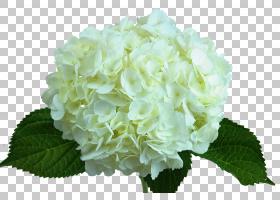 绣球花白色绿色Floristry,桃花PNG剪贴画紫色,蓝色,白色,颜色,年图片