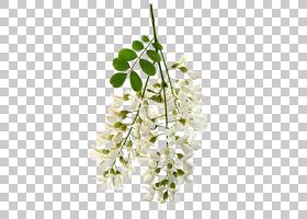花卉设计白色金合欢花股票摄影,花PNG clipart插花,摄影,科,植物