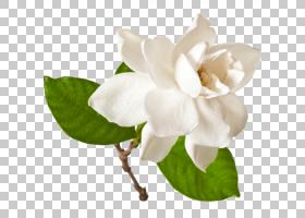 海角茉莉花股票摄影栀子thunbergia花,花PNG clipart白,香水,roya