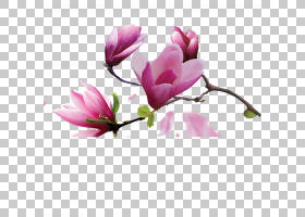 帆布油画玉兰,玉兰花PNG剪贴画水彩画,紫色,草本植物,中国风格,分