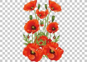 常见的罂粟花加州罂粟,手绘花卉背景材料PNG剪贴画水彩绘画,插花,