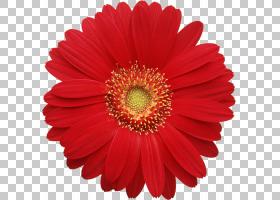德兰士瓦雏菊常见的雏菊,红色格柏雏菊,红色非洲菊雏菊特写摄影PN