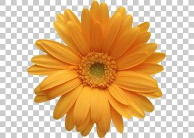 德兰士瓦雏菊橙色常见的雏菊iStock,橙色格柏雏菊,黄色雏菊花PNG