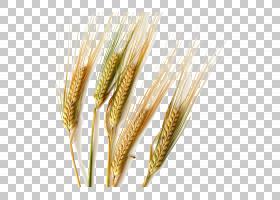 硬粒小麦常见的小麦大麦谷物耳朵,米PNG剪贴画食品,燕麦,水稻,稻