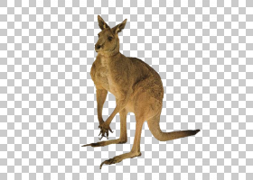 澳大利亚猫红色袋鼠尾巴,袋鼠PNG剪贴画哺乳动物,动物,动物群,野