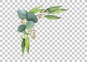 Eucalyptus polyanthemos皇族,水彩绘画,水彩叶子,绿色叶子反对白