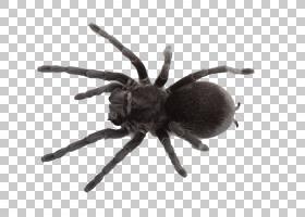 蜘蛛网南部黑寡妇宠物蜘蛛,蜘蛛PNG剪贴画昆虫,动物,梦想,蜘蛛,卡