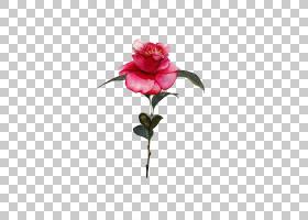 水彩绘画绘画,手绘玫瑰PNG剪贴画草本植物,画,人造花,植物茎,手绘