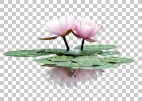 睡莲花莲藕nucifera,手绘莲花PNG剪贴画水彩画,草本植物,画,颜色,