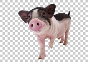 微型猪宠物狗驯化,Steppin猪PNG剪贴画动物,脊椎动物,猪卡通,动物