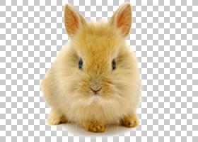 兔子高清视频分辨率,可爱的矮兔子PNG剪贴画动物,兔子,卡通,矮人,
