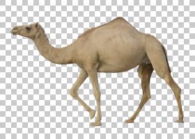 独峰驼双峰驼,在骆驼PNG剪贴画哺乳动物,离开材料,动物,卡通骆驼,