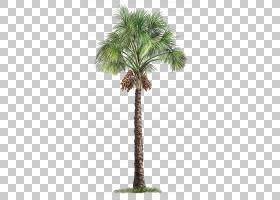 毛里求斯flexuosa棕榈科树,棕榈树,绿色棕榈树PNG剪贴画其他,植物