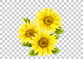 水彩绘画常见的向日葵,黄色手绘向日葵装饰图案PNG剪贴画画,手,向