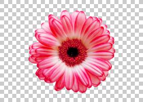 德兰士瓦雏菊花共同的雏菊股票摄影白色,花动画片花束材料,桃红色