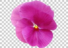 Violet Pansy Mallows Plant丁香,三色堇PNG剪贴画紫色,草本植物,