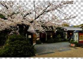 Maruyama Park香港湿地公园Malxe9星期五清真寺樱花,丸山公园区域