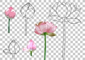 Nelumbo nucifera,手绘莲花PNG剪贴画水彩画,画,植物茎,手绘,卡通